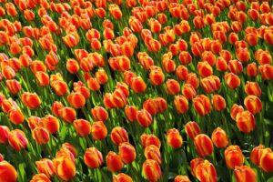 Praca Holandia - pole czerwonych tulipanów